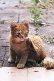 Gatito travieso masculino blanco y amarillo Fotografía de archivo