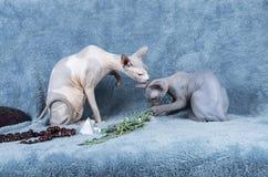 Gatito y adulto azules del gato de Sphynx del canadiense Fotografía de archivo libre de regalías