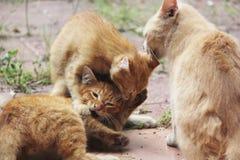 Gatito y familia traviesos masculinos blancos y amarillos Foto de archivo libre de regalías