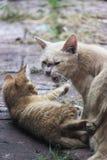 Gatito y mamá traviesos masculinos blancos y amarillos Imagen de archivo
