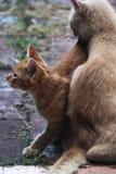 Gatito y mamá traviesos masculinos blancos y amarillos Fotos de archivo libres de regalías