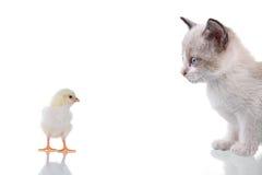 Gatito y polluelo Foto de archivo