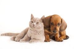 Gatito y puppydachshund Foto de archivo