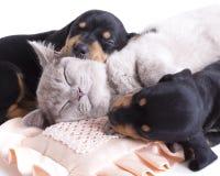 Gatito y puppydachshund Foto de archivo libre de regalías