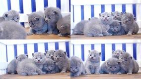 Gatitos azules que juegan, cuatro pantallas de británicos Shorthair almacen de video