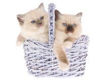 Gatitos bonitos de Ragdoll en cesta de la lila Imagen de archivo libre de regalías