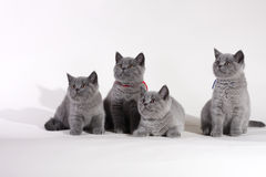 Gatitos británicos de Shorthair Foto de archivo libre de regalías