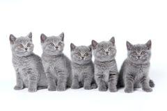 Gatitos británicos de Shorthair Fotografía de archivo libre de regalías