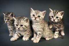 Gatitos británicos de Shorthair. Foto de archivo libre de regalías