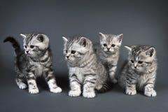 Gatitos británicos de Shorthair Imagen de archivo libre de regalías
