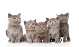 Gatitos británicos del shorthair del grupo que miran para arriba Aislado Foto de archivo