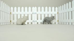 Gatitos británicos en una pequeña yarda, cerca blanca de Shorthair metrajes