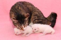 Gatitos con la mama Imagen de archivo libre de regalías