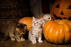 Gatitos con las calabazas para Halloween Imagenes de archivo