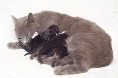 Gatitos de amamantamiento del gato Fotografía de archivo