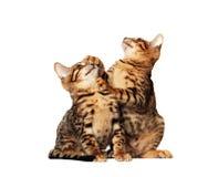 Gatitos de Bengala foto de archivo