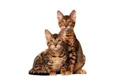Gatitos de Bengala imagen de archivo