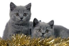 Gatitos de británicos Shorthair imagen de archivo