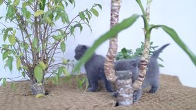 Gatitos de británicos Shorthair que juegan entre las plantas de la yuca metrajes