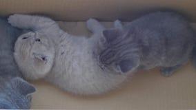 Gatitos de británicos Shorthair que juegan junto en una caja almacen de metraje de vídeo