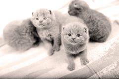 Gatitos de británicos Shorthair que miran para arriba Fotos de archivo libres de regalías