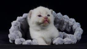 Gatitos de británicos Shorthair que ocultan en un paño suave metrajes