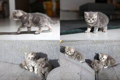 Gatitos de británicos Shorthair que se sientan en un sofá, imagen de la PIPA en la imagen, rejilla 2x2 Fotografía de archivo libre de regalías