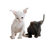 Gatitos de Cornualles blancos y negros del rex Fotos de archivo