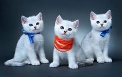 Gatitos de la casta británica. Fotos de archivo