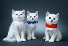 Gatitos de la casta británica. Fotos de archivo libres de regalías
