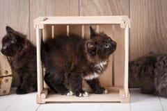 Gatitos de la cola cortada de Kurilian Gatos divertidos Imagen de archivo