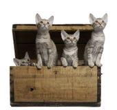 Gatitos de Ocicat, 13 semanas de viejo, emergiendo de un rectángulo Fotos de archivo