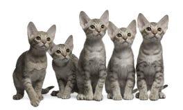 Gatitos de Ocicat, 13 semanas de viejo, sentándose Imagen de archivo libre de regalías