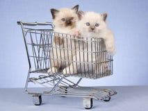 Gatitos de Ragdoll en mini carro de compras Foto de archivo libre de regalías