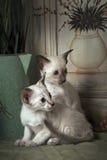 Gatitos de Shorthair oriental Fotos de archivo