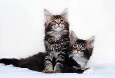 Gatitos del Coon de Maine Fotos de archivo