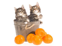 Gatitos del Coon de Maine en cuba con la fruta Fotografía de archivo