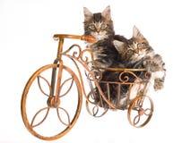 Gatitos del Coon de Maine que sientan la bicicleta Imágenes de archivo libres de regalías