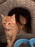 Gatitos del jengibre foto de archivo