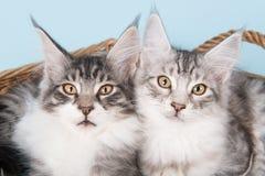 Gatitos del mapache de Maine en azul Fotografía de archivo libre de regalías