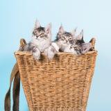 Gatitos del mapache de Maine en cesta Imagenes de archivo