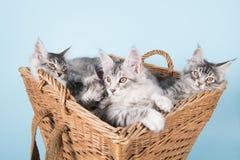 Gatitos del mapache de Maine en cesta Foto de archivo libre de regalías