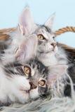 Gatitos del mapache de Maine en cesta Imagen de archivo libre de regalías