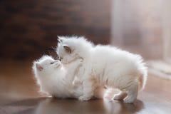 Gatitos del punto azul dos de Ragdoll pequeños Foto de archivo libre de regalías