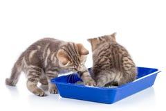 Gatitos divertidos que se sientan en un retrete del gato aislado en blanco Fotografía de archivo libre de regalías