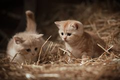 Gatitos en el heno Fotos de archivo libres de regalías