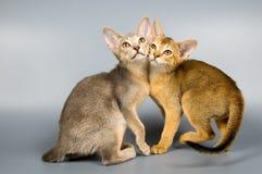 Gatitos en estudio fotografía de archivo