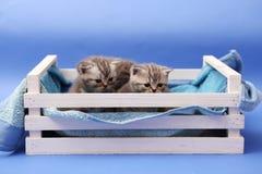 Gatitos en un cajón de madera Imagen de archivo libre de regalías