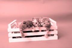 Gatitos en un cajón de madera Fotografía de archivo