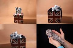 Gatitos en una caja de la bandera de Union Jack, multicam, rejilla 2x2 Imágenes de archivo libres de regalías